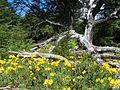 Alstroemeria aurea PN Villarrica por Pato Novoa - 001.jpg