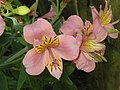 Alstroemeria cv04.jpg