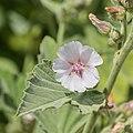 Althaea officinalis in Jardin des 5 sens (1).jpg
