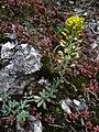 Alyssum montanum subsp. montanum sl2.jpg
