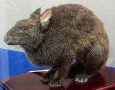Spécimen naturalisé d'un lapin brun foncé à museau allongé et oreilles courtes