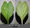 Amaranthus blitum subsp. emarginatus sl55.jpg
