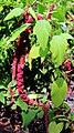 Amaranthus caudatus Prague 2017 2.jpg
