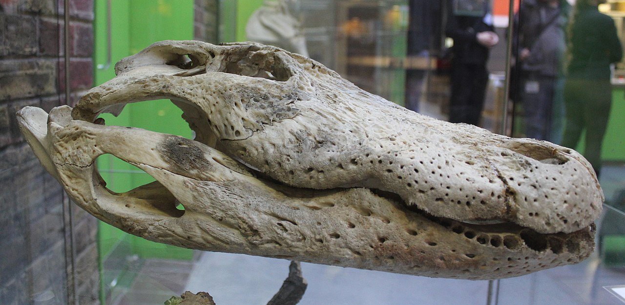 Anatomy of an alligator
