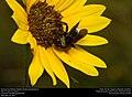 American bumblebee (Apidae, Bombus pensylvanicus) (29595878104).jpg