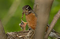 American robin in nest with chick and worm.jpg