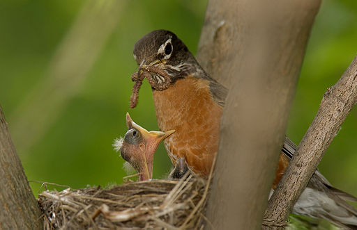 American robin in nest with chick and worm