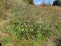 Ammobium alatum plant14 (14146738858).jpg