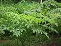 Amorphophallus paeoniifolius Plant frm Kerala 5035.JPG