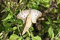 Anartia jatrophae mating.jpg
