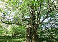 Ancient Sweet Chestnut (Castanea sativa), Auchinleck, East Ayrshire, Scotland.jpg