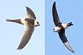 Andean Swift.jpg