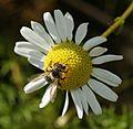 Andrena cf denticulata - Flickr - S. Rae (1).jpg