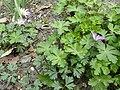 Anemone blanda (Ranunculaceae) plant.jpg