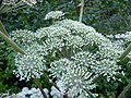 Angelica sylvestris 04 by Line1.jpg