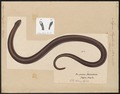 Anguis fragilis - 1700-1880 - Print - Iconographia Zoologica - Special Collections University of Amsterdam - UBA01 IZ12600061.tif
