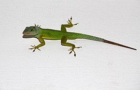 Description de l'image Anolis bimaculatus in St.Kitts.jpg.