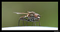 Another fly 1 (2068950297).jpg