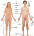 Anterior view of human female and male, with labels.png