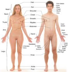 Photograph of an adult female human, with an adult male for comparison.  Note that both models have partially shaved body hair.