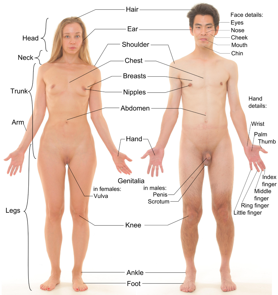 Fileanterior View Of Human Female And Male, With Labels -7347