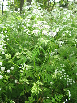 Anthriscus sylvestris Japan1.JPG