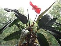 Anthurium scherzerianum de