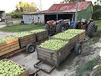 Apple harvest In The Summit, Queensland 03.jpg