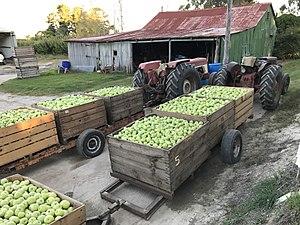 Apple harvest In The Summit, Queensland 03.jpg