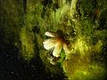 Aquatic fungus champignonAquatique à lamelles Moyenne-Deûle 2015 Lamiot 10.JPG