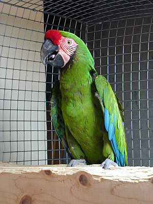 Great green macaw - Image: Ara ambiguus captive 8a