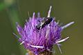 Araignées, insectes et fleurs de la forêt de Moulière (Les Chirons Noirs) (29044209835).jpg