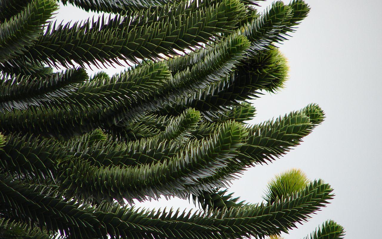 %name Şili Arokaryası   Araucaria Araucana Bitkisi Hakkında Bilgi