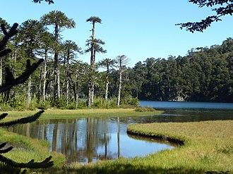 Araucanía Region - Image: Araucarias en Huerquehue