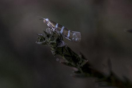 Argyresthia trifasciata, Lodz(Poland)01(js).jpg