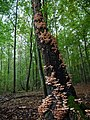Armillaria on a tree in the Spandauer Forst.jpg