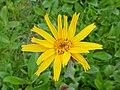 Arnika-Blüte in Hinterwies.jpg