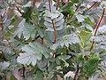 Arran Cut-Leaved Whitebeam (Sorbus pseudofennica) - geograph.org.uk - 1159851.jpg