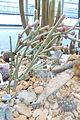 Arrojadoa penicillata - Botanischer Garten, Dresden, Germany - DSC08843.JPG