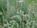 Artemisia vulgaris 02.JPG