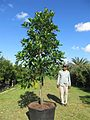 Artocarpus heterophyllus (Jackfruit) (28770845272).jpg