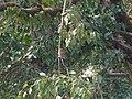 Asian Barred Owlet - Glaucidium cuculoides - P1070999.jpg