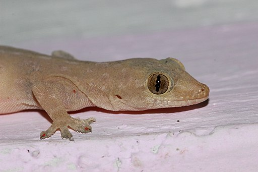Asian House Gecko close up from bangalore