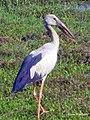 Asian Openbill stork (ചേരാക്കൊക്കന്) (8708691087).jpg