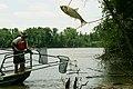 Asian carp (6887439853).jpg