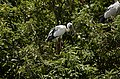Asian openbill stork (Anastomus oscitans) from Ranganathittu Bird Sanctuary JEG4050.JPG