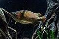 Asiatischer Gabelbart (Scleropages formosus).jpg