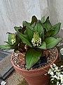 Asparagaceae Eucomis humilis 1.jpg
