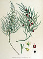 Asparagus officinalis — Flora Batava — Volume v15.jpg