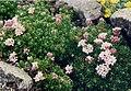 Asperula gussonii 1.jpg